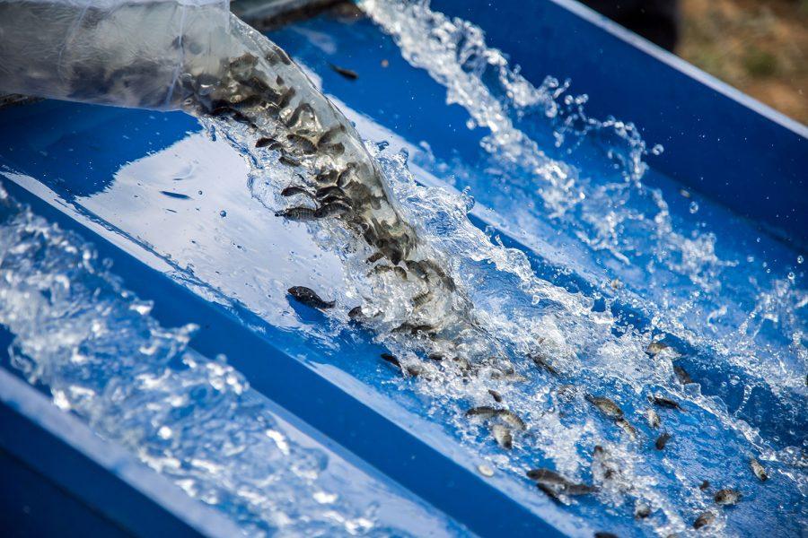Traslocazione controllata di ittiofauna per lavori idraulici